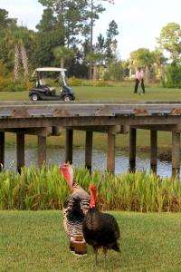 Turkeys on the course at Waldorf Astoria Golf Club